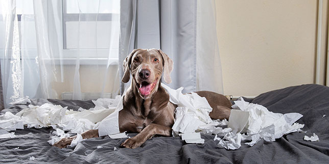 A dog happily sits in shredded paper. This dog eats things he's not supposed to!