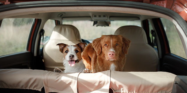 Two dogs in a car. The Jack Russell terrier is the second dog to join this household.
